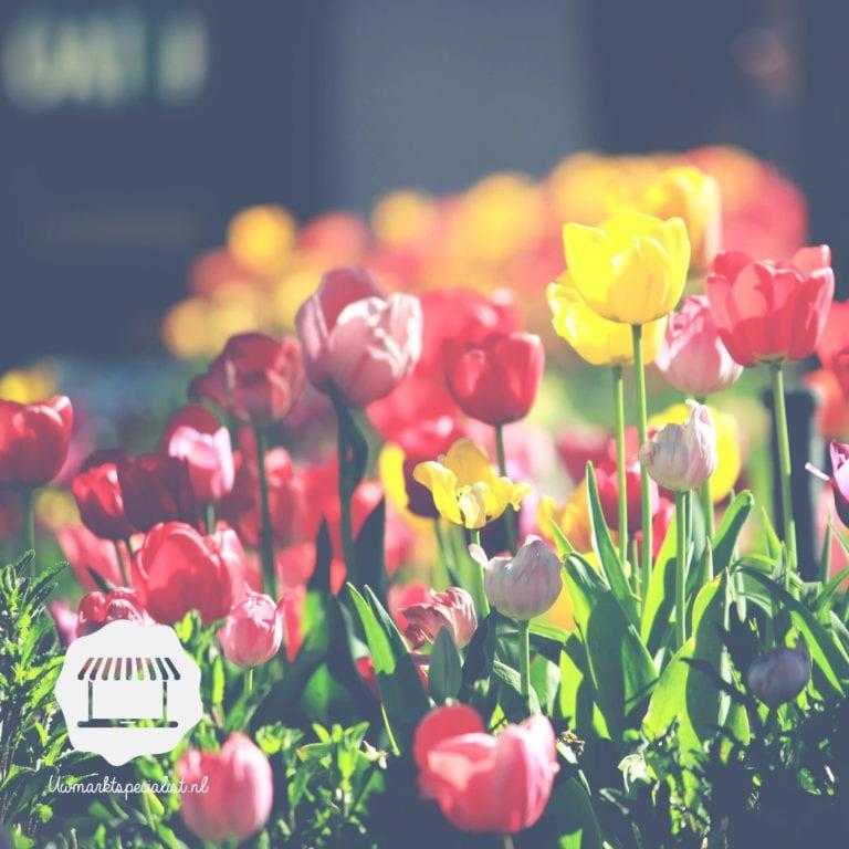 Waar komen de typische Hollandse tulpen vandaan?