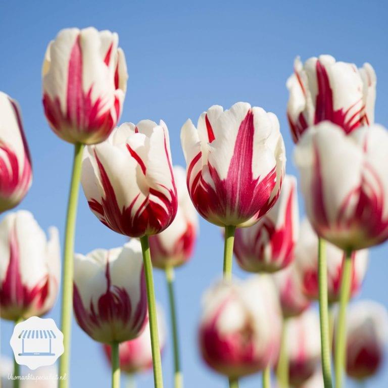 De nationale trots – wist je dit al over… tulpen?