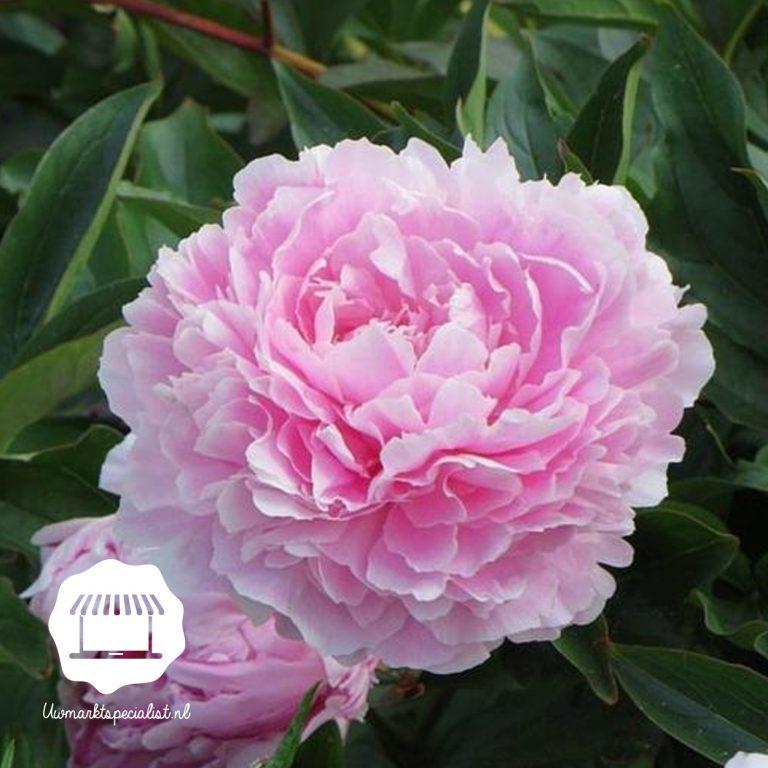 Zacht roze pioenrozen Sarah Bernardt